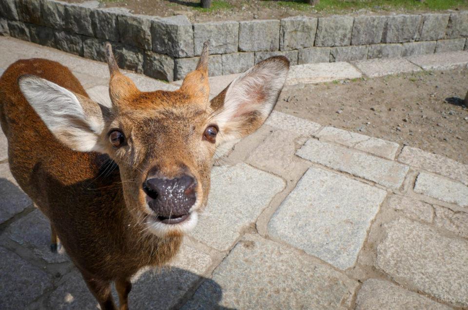 Kyoto – Une journée à Nara